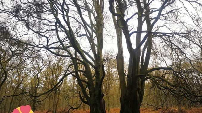 Kinclaven Wood Witness Trees